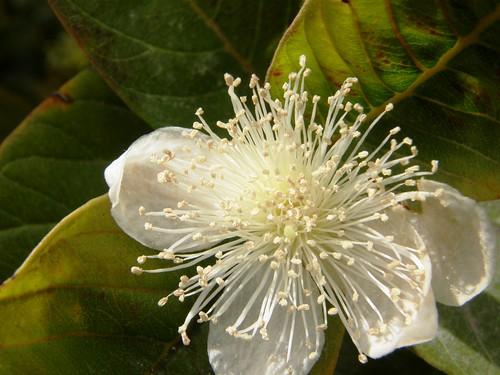 Mitad del Mundo, flor de Guayaba
