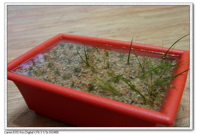培植牛毛氈水上草