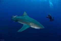 paradise with monsters (Fiona Ayerst) Tags: danger scary underwater scuba bull jaws sharks diver mozambique carcharias bullsharks diverswimmingwithsharks