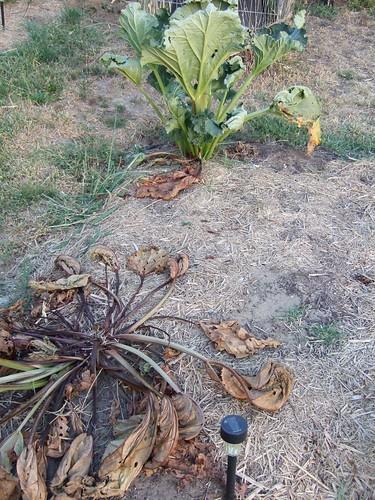 Dead rhubarb