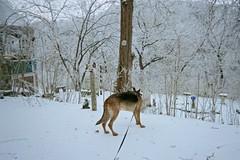 Trooper, the Wonder Dog (junebug_1944) Tags: icestorm eurekaspringsar january2009