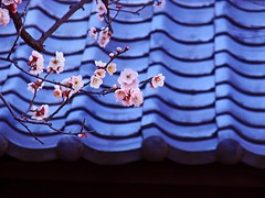Japanese plum blossoms at a shrine