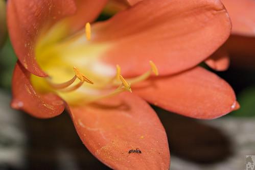 Clivia spp
