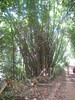 Bamboo grows very big very quickly…
