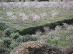 Mandelbäume auf Mallorca