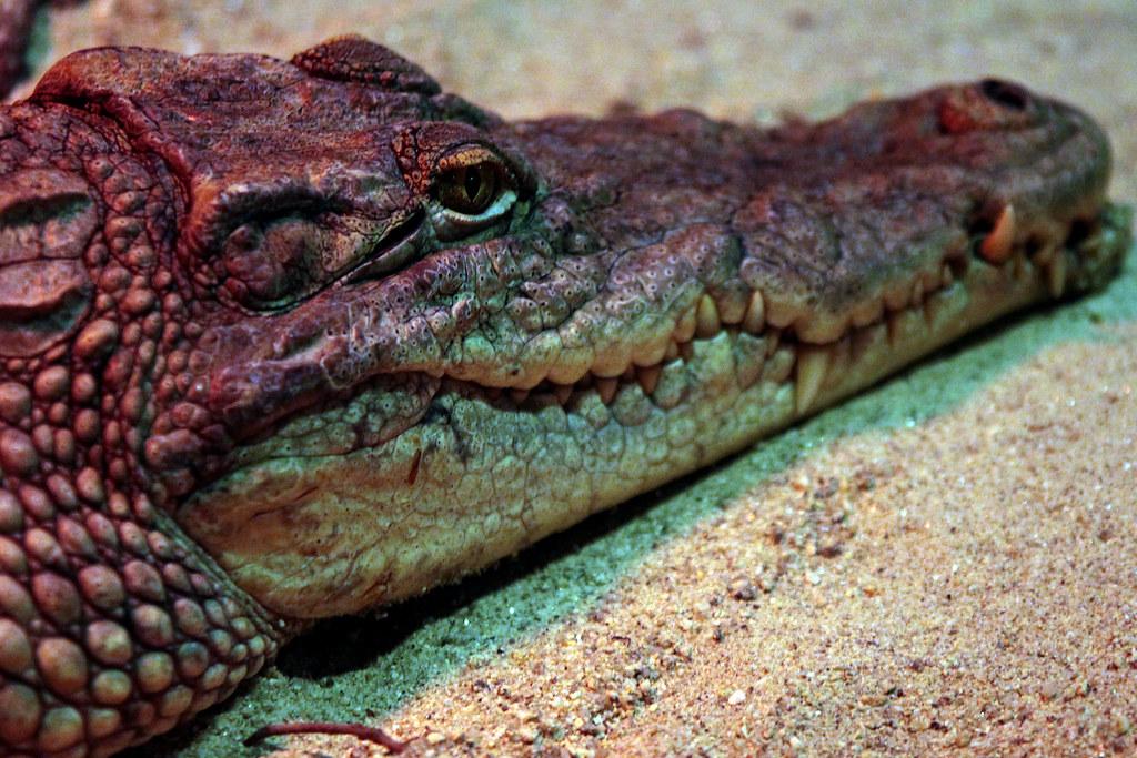 019581bbc4bcf The snapper (catdarcy) Tags  dublin animals zoo crocodile 10millionphotos