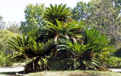 SAGO PALM (Cycas revoluta) ................... (240 x 152) Original=(3381 x 2142) (turdusprosopis) Tags: cicada cycas cycadaceae sagu cica sagopalm cicade cycasrevoluta  cycadales cycadfamily falsapalmera cicarevoluta sagocycad kingsagopalm  cykas cycasdujapon plantsofjapan japanischerpalmfarn floradejapn plantasdejapn palmadelsag cykasfamilien cykasklassen nitrogenfikserendeplanter sagowiec sagowcowe    palmowypapro cykasjaponsk cykasotvar cykasorosty floraofjapan palmeiracica sagudejardim sagoudujapon petitrameau japanskkoglepalme cykasordenen cycaspalm sagowiecodwinity sagowcowate      japanskipalmowypapro palmowepaproe cykasy