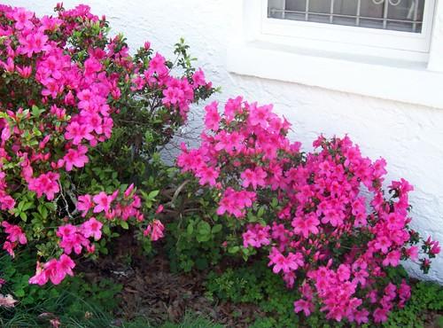 Azaleas behind house, 2