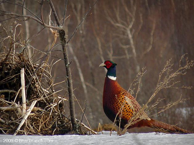 P1000090_pheasant
