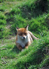 Fox Laying Down (catherineflowermonkey) Tags: predetor urbanfoxes predetors britishwildlifecentrethebritishwildlifecentrefoxes britishwildlifeanimalanimalsmammalsbirdsnaturenaturalworldlingfieldeastgrinsteadsoutheastenglandenvironment foxurbanfox
