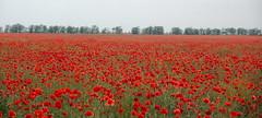 Crimean Poppy Field (twiga_swala) Tags: field spring poppy poppies campo crimea printemps krim mohn amapolas pavots