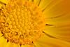 primavera (sergimn) Tags: summer flower macro planta primavera nature yellow canon eos flor natura amarillo groc 400d androceo