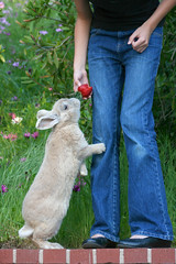 """""""Just give me this one and I swear I won't ask for any more!"""" (rlonas) Tags: pet rabbit bunny paw strawberry rebecca daughter ears wildflowers begging beg moorea lop bigmomma pfogold"""