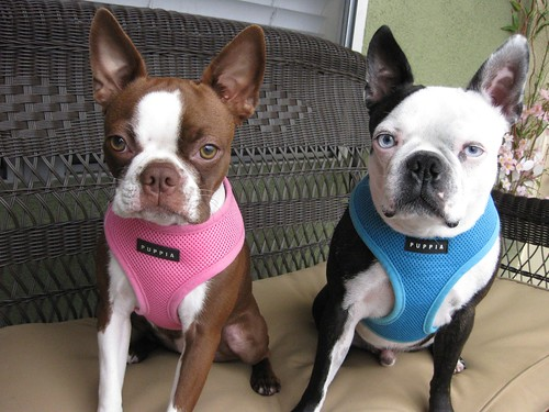 Boston Terriers Clementine & Hogwarts model the puppia