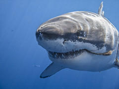 Great White Shark Photo - George Probst