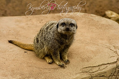 meercat (kymberlybphotography) Tags: louisvillezoo