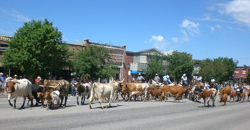 Rodeo Cattle Drive