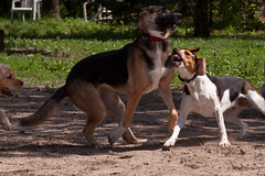 Floyd at Dog Park (Paguma / Darren) Tags: dog hound floyd tamronspaf90mmf28dimacro