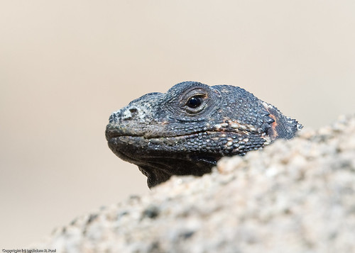 Common Chuckwalla by you.