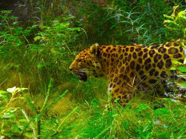 Leopard at Nordens Ark