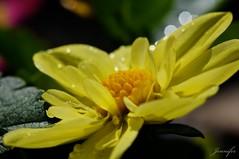 sunny face (thru jens eyes) Tags: birthday flower green water yellow petals drops leo explore roar