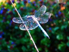 Dreaming In Iridescent~~~ (Hopefaithandlove2014~Walk by Faith, Not by Sight~) Tags: nature colors beauty garden fly wings backyard dragonfly bokeh sparkle dreams iridescent hopefaithandlove2009