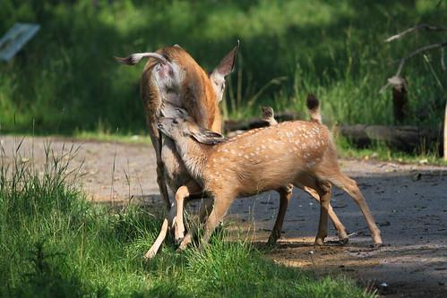 Deer nursing