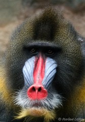 Mandrill (Leffson Photography) Tags: nature zoo monkey wildlife pittsburghzoo mandrill canon70200mmf28l allrightsreserved canonxti vosplusbellesphotos marleneleffson leffsonphotography marleneleffson allrightsreservedmarleneleffson