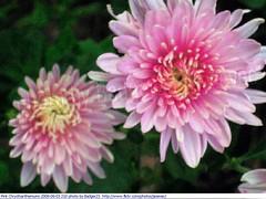Pink Chrysthanthemums 2009-09-03 210 (Badger 23 / jezevec) Tags: pink flower fleur indianapolis flor indiana mums mum bunga  blume fiore 2009 roze bloem chryzantema       jezevec  chrysanthemen kvt kasmpat chrysthanthemum    vbr   krysantemum 20090902 rowa   seruni krizantm  pokok wabigon  badger23 rausva okseje skaistaied kekwa  crisantemu krysanteemit i