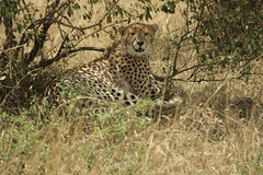 Cheetah in Maasai Mara - Kenya