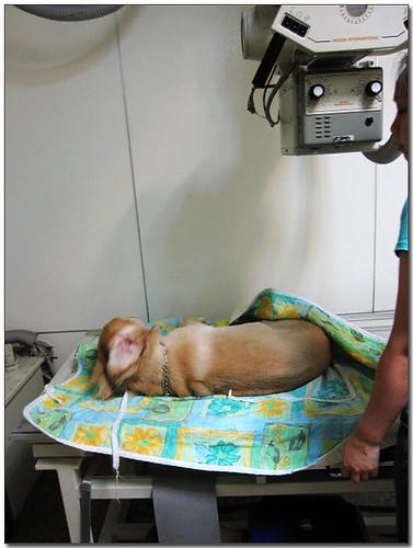 20090920「徵資源」台中於嘉義市區拾獲的黃金獵犬弟弟~還缺醫療資源4千多元~懇請贊助~也徵認養人喔!