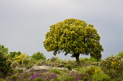 Spring colors II - Before the storm (Ahio) Tags: flowers trees storm spring oak mediterranean zamora jara holm duero encina cytisus quercusilex arribesdelduero smcpentaxda70mmf24 cantueso
