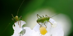 crickets & strawberry flowers (Tony Jope) Tags: summer plants garden small strawberries insects bugs tiny crickets