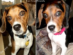 From Two months old to A Year old (Boogie Snoogie Photography) Tags: stella dog beagle puppy boogiesnoogiephotography