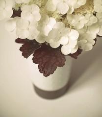 hydrangea quercifolia (hanna.bi) Tags: flowers leaves terrace vase hydrangea growing heuchera hannabi quercifolia