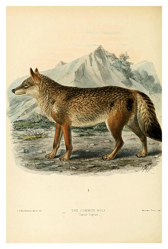 010-lobo comun-Dogs jackals wolves and foxes…1890- J.G. Kulemans