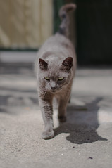 Back at cha (D3 Photography) Tags: cat eyes nikon sigma 50mmf14 russianblue d300 lightroom2