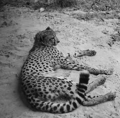 Cheetah, Singapore Zoo. (ndnbrunei) Tags: blackandwhite bw cats 120 6x6 tlr film rollei mediumformat square singapore kodak bn mf zoos blackdiamond rolleicord bw400cn classicblackwhite analoguephotography rolleigallery ndnbrunei 50yearoldcamera ilovemyrolleicord