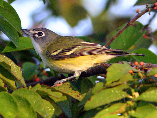 Blue-headed Vireo 2-20090111