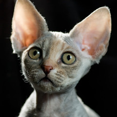 Fennec's Merrie 2 (peter_hasselbom) Tags: portrait cats face backlight cat kitten flash kittens tortie devonrex torty onblack 105mm 11weeksold cc100 elevenweeksold tortoisshell