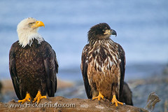 Young and fully grown bald eagles sitting on a tree (Rolf Hicker Photography) Tags: usa birds animals alaska northamerica baldeagles impressedbeauty