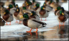 Orange Feet (John Barrie Photography) Tags: ducks mallards frozenlake masonohio orangefeet johnbarrie johnbarriephotography velocityphotography