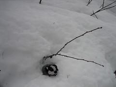 Snow badger