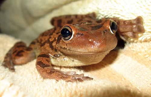 cuban tree frog3