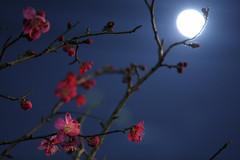 Moonlight Plum Blossom (mrhayata) Tags: moon japan night geotagged tokyo blog spring shrine branch blossom plum 日本 moonlight 東京 setagaya 梅 春 夜 月 wakabayashi 東京都 世田谷区 枝 ウメ 若林 mrhayata 月明かり geo:lon=139660515 geo:lat=35645160 若林天満宮