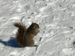 cureuil (Floe_b) Tags: snow neige cureuil
