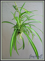 Baby Spider Plants or Plantlets of Chlorophytum comosum 'Streaker' in our garden, February 2007