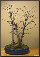 Bonsai 1 (Daytona1961 http://awd-daytona.blogspot.com/) Tags: trees tree green grass mos leaf bomen groen branch branches natuur boom blad bonsai gras daytona leafs tak takken bonsais bladeren loofbos