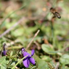 Windowshopping (Part 1) (Cobra_11) Tags: flower macro nature animal canon garden purple natur violet lila bee bahe blume makro canoneos garten mor tier biene iek ar hayvan doa meneke ef75300mm balars canoneos450d digitalrebelxsi