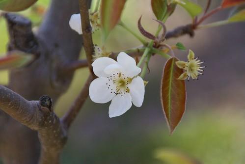 2009-03-25 (Pear Blossom)